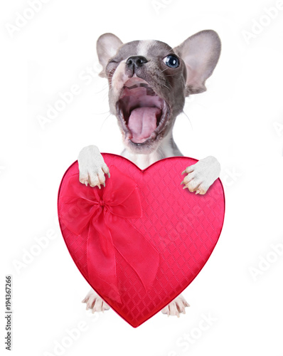 Aluminium Franse bulldog cute french bulldog puppy holding a red heart shaped box of chocolates for valentine's day isolated on a white background