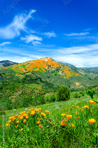 Fotobehang Klaprozen California Golden Poppy field, california poppies