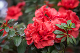 blossom of red azalea flower. Floral background