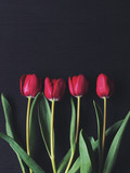 Red tulips isolated on black background. Moody lighting. Copy space. Flat lay.