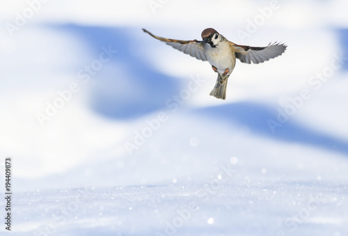 portrait of little bird Sparrow flies widely spread its wings and fluffed feathers over a brilliant blue background with snow