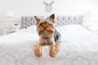 Cute yorkshire terrier in the bedroom