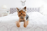 Cute yorkshire terrier in the bedroom