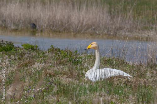 Aluminium Zwaan Bewick`s swan (Cygnus bewickii) sits on a nest in Marquenterre nature park, France
