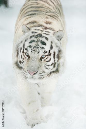 Aluminium Tijger bengal tiger