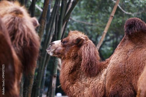 Aluminium Kameel Camel in the zoo
