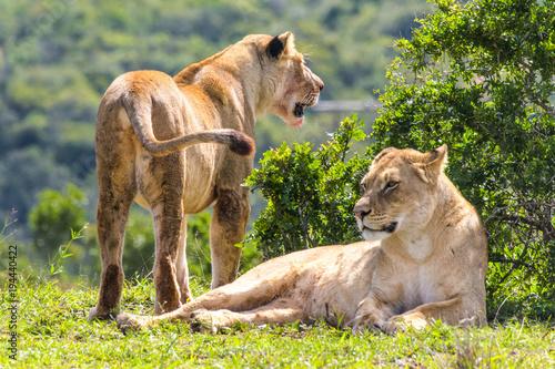 Fotobehang Lion Leone
