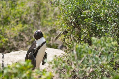 Fotobehang Pinguin Pinguini