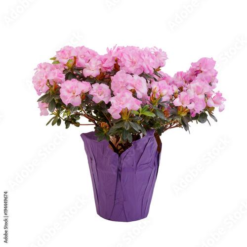 Aluminium Azalea Florist's potted pink azalea.