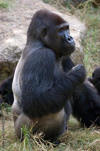 Fotobehang Bamboe Gorilla