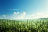 fir tree forest in sunny day - 194453267