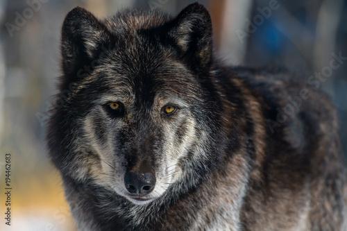 Fotobehang Wolf Dark Tundra Wolf Closeup