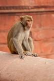 Monkey in India - 194470051