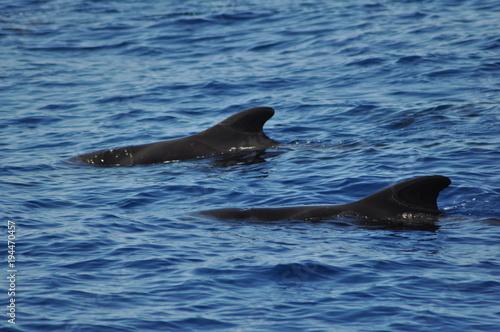 Fotobehang Dolfijn Teneriffa Wale