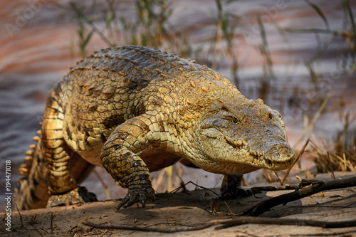 Wall mural Nile Crocodile - Crocodylus niloticus, large reptile  from Tsavo East National park, Kenya.