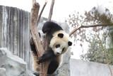 Playful Panda on the Tree, China