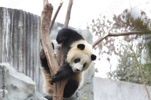 Plexiglas Panda Playful Panda on the Tree, China