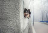 shetland sheepdog hiding behind a wall - 194485625