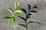 Green plant branch on a concrete wall - 194491899