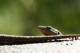 Lizard looking from behind a tail - 194502265