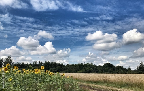 sunflowers field in the country