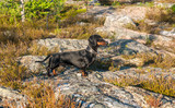 Black and tan dachshund on rock in tundra