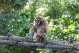 Gibon sitting on a wood lader looking around - endangered, cute, agile furry wild primate,