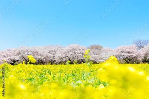 Yellow 満開の桜と菜の花畑