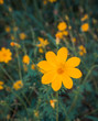blooming yellow flower in the garden, Cosmos field in Thailand - 194521852