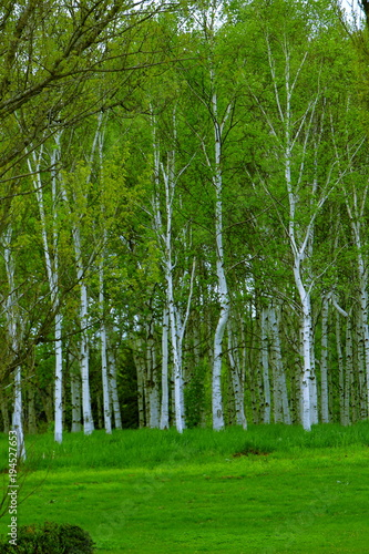 Foto op Aluminium Groene Park in Sapporo, scenery of spring birch forest
