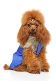Toy Poodle In Clothes For Dogs Wall Sticker