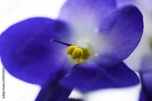 Macro flower violet close-up on a light background - 194534671