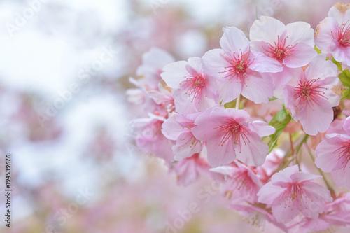 Fotobehang Purper 桜の花 河津桜