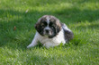 Newfoundland/Great Pyrenees puppy resting on the grass on a spring day
