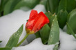 Red tulip after an early spring snow storm in Ann Arbor, Michigan