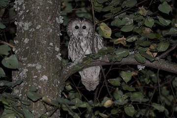 owl, bird, animal, nature