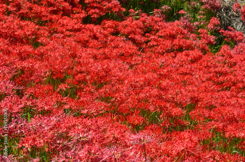 Fotobehang Rood traf. On the sunny day of autumn, the bank is covered with cluster amaryllis