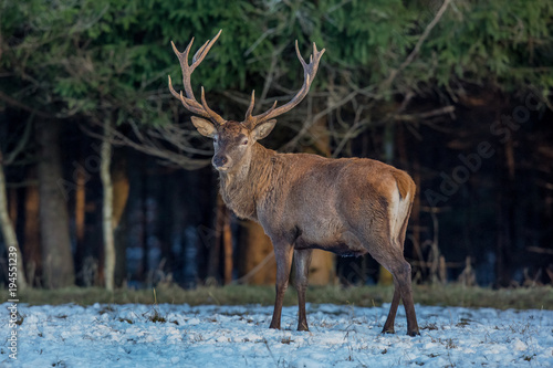 Fotobehang Hert deer, animal, wildlife, mammal
