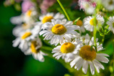 White chamomile waving in the wind. Macro..