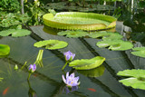 Water lilies, lily pads and aquatic plants in an artificial pond - 194557267