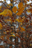 Beech leaves in autumn in the forest - 194558842