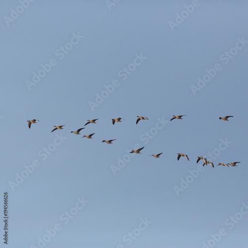 gray goose (anser anser) birds flying in V-formation during migration, blue sky Poster