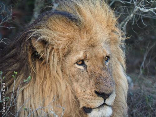Fototapeta Löwe in Südafrika