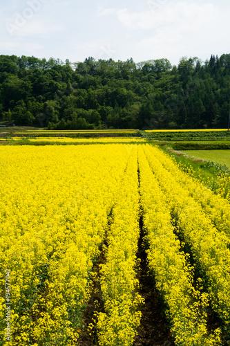 Foto op Canvas Oranje 休耕田の菜の花畑