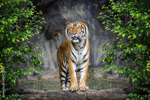 Wall mural Tiger is standing in the forest atmosphere.