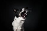 Funny dog face portrait at studio