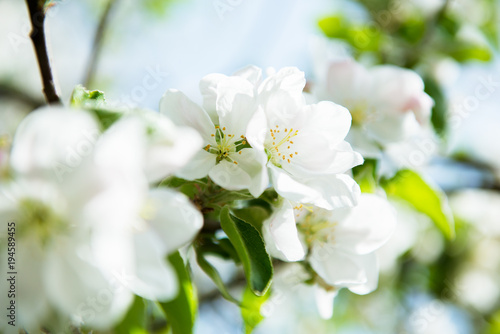Apple blossoms. Blooming apple tree branch with large white flowers. Flowering. Spring. Beautiful natural seasonsl background with apple tree's flowers. - 194589455