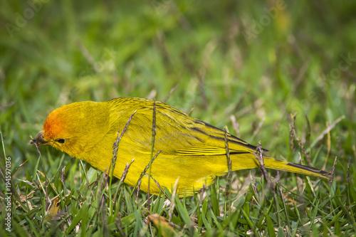 Fotobehang Vlinder canário-da-terra