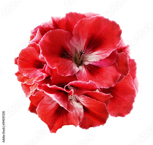 Papiers peints Rouge traffic A bouquet of red-white begonias on a white isolated background with clipping path. Close-up without shadows. Nature.