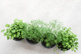 Dill and coriander in flowerpots against concrete background. - 194601045